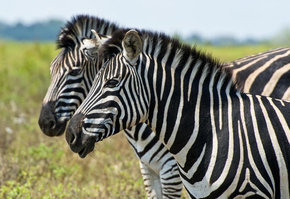130420_DSC3744 Zebra Duo.jpg