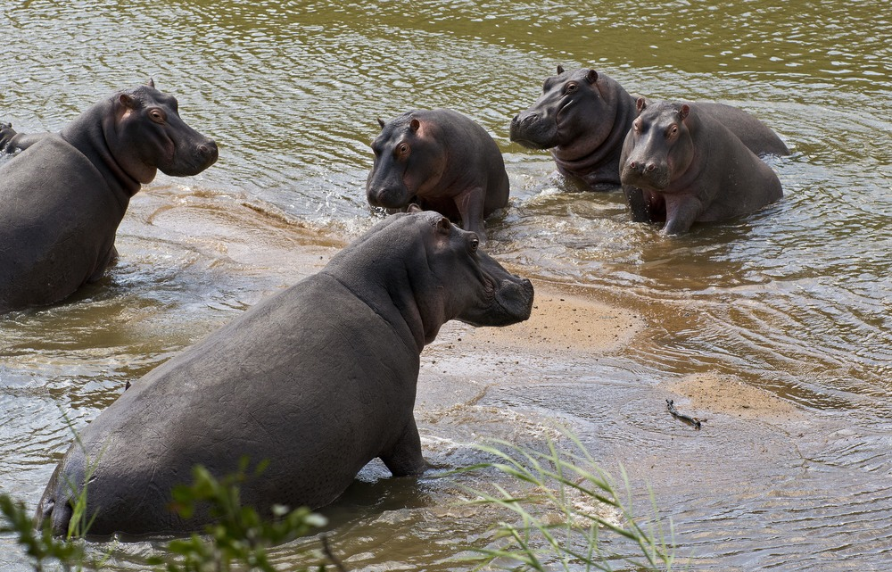 130420_DSC3786 Hippos.jpg
