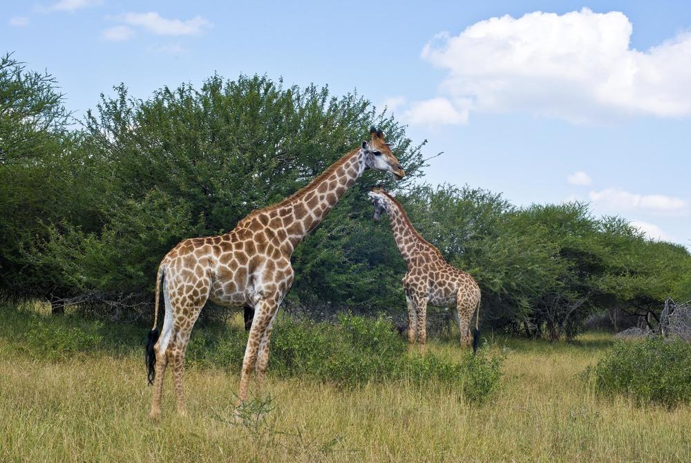 130420_DSC3883 Giraffe Feeding.jpg