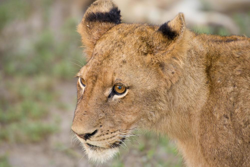 130420_DSC3960 Juvenile Lion.jpg