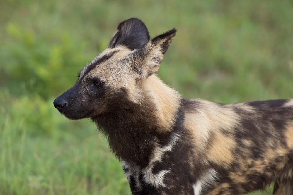 130420_DSC4268 African Wild Dog Portrait.jpg
