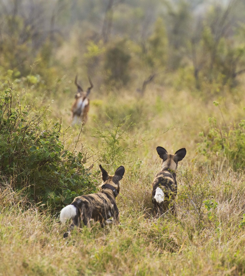 130420_DSC4655 Wild Dogs Hunting Impala.jpg
