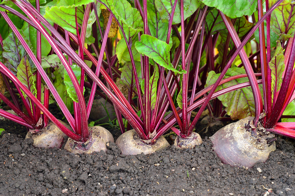 growing red beets in your summer garden.jpg
