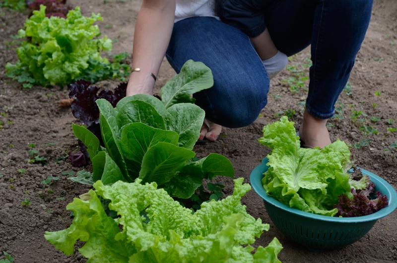 lettucepicking.jpg