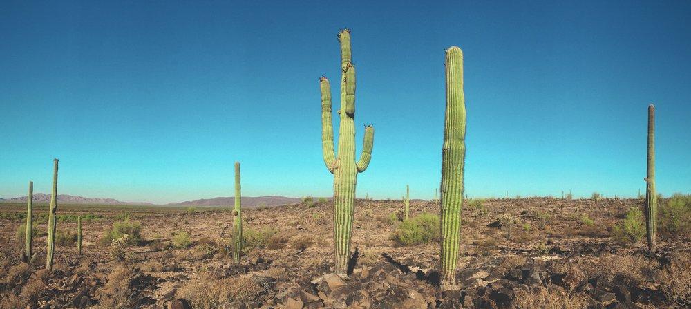 Sonoran Desert Saguaro Cactus