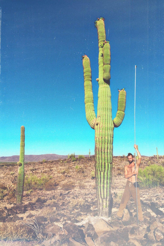 Wild Saguaro Cactus Fruit Harvest