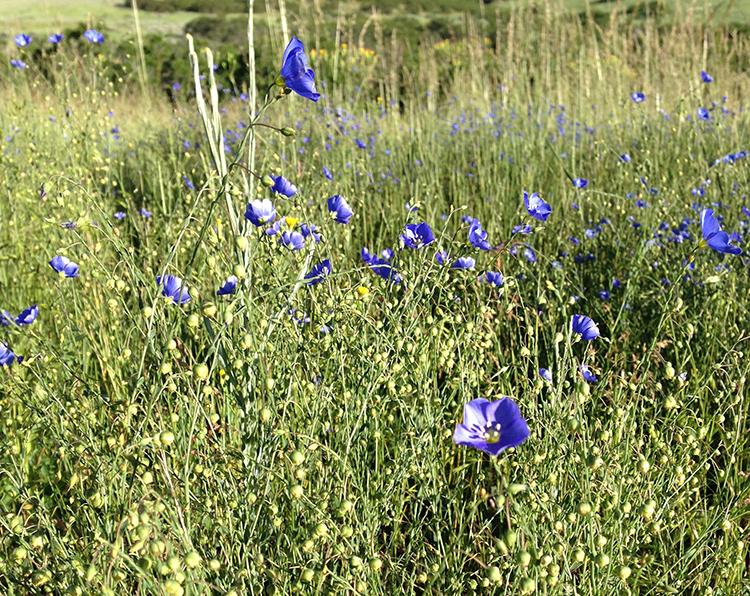 April-Flax.jpg