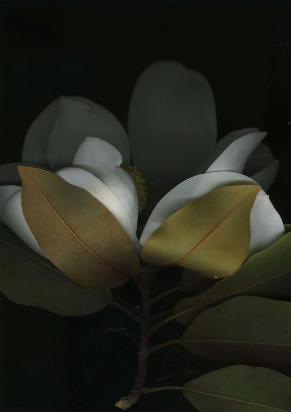 magnolia_6.jpg