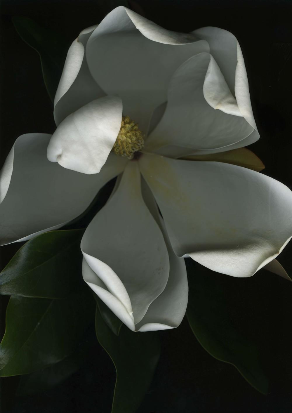 magnolia_1.jpg