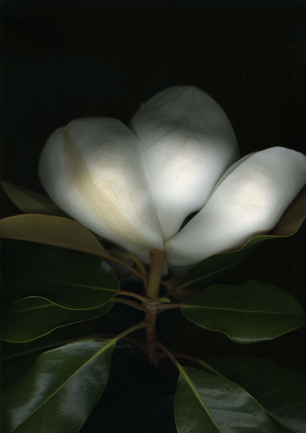 magnolia_3.jpg