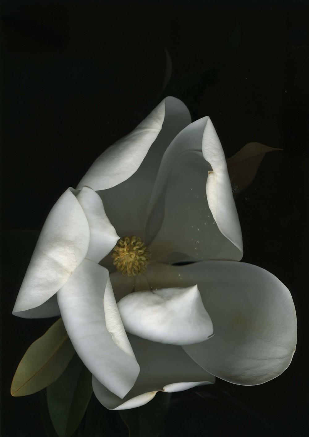 magnolia_5.jpg