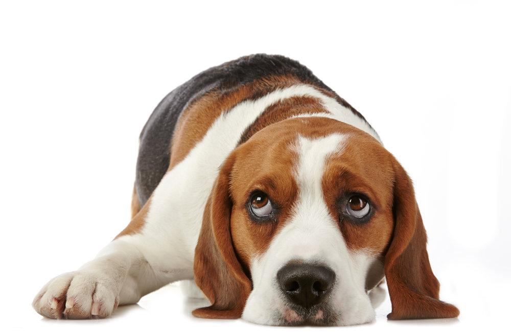 beagle copy.jpg