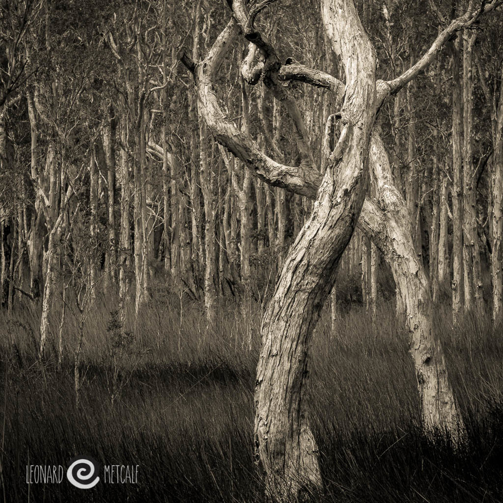 Dancing paper barks, I have wanted to photograph this section of trees for years, and luckily I was camped near by when the light was just right just after a thunderstorm. Myall Lakes National Park © Leonard Metcalf 2014