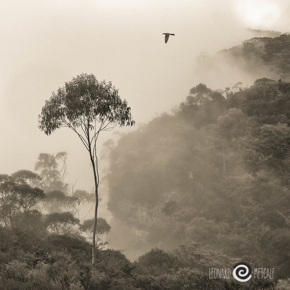 Lone bird and tree on Narrow Neck Road, Katoomba, The Greater Blue Mountains World Heritage Area © Leonard Metcalf 2012
