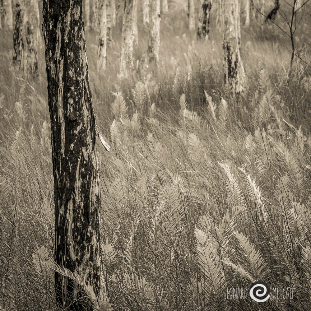 Paper bark and fishbone ferns, Myall Lakes National Park, Australia © Leonard Metcalf 2014