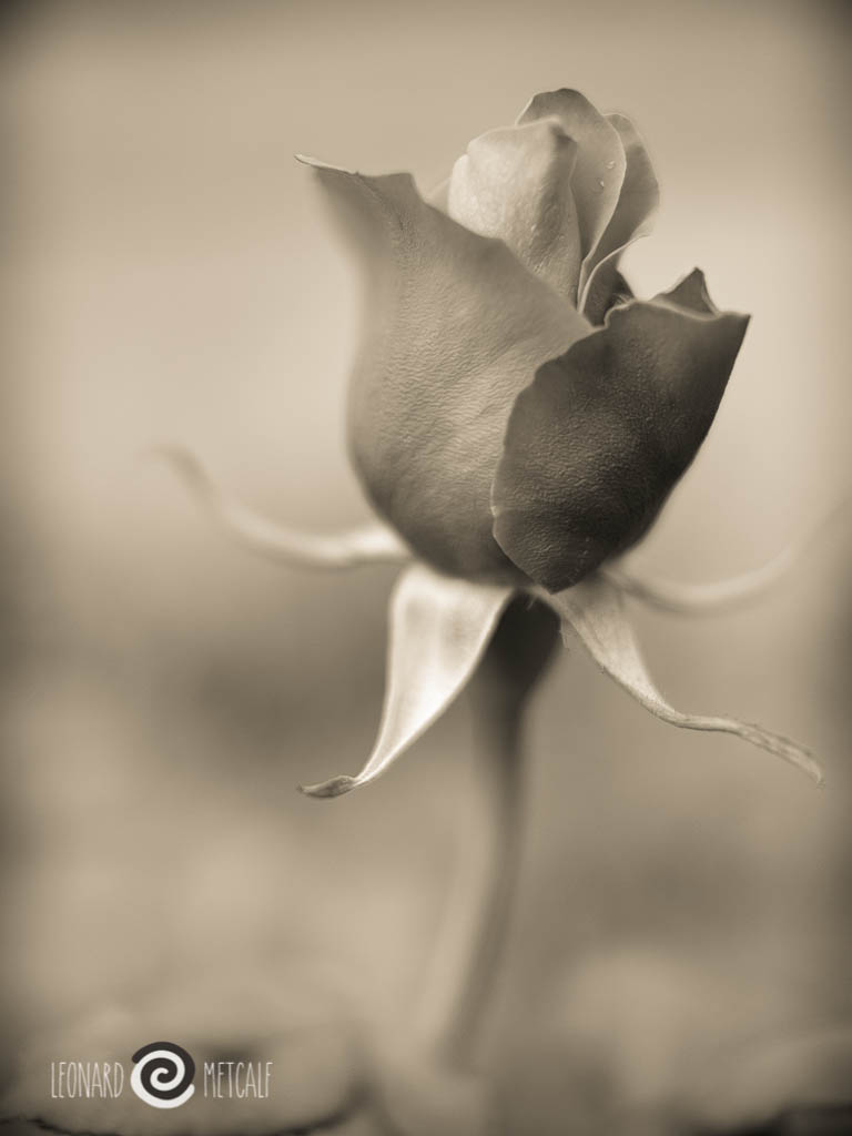 Rose - illustrating subject isolation utilising aperture © Len Metcalf 2013
