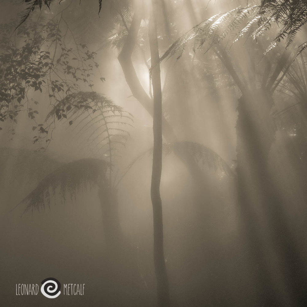 Ferns in the mist, ACT Botanic Gardens, rainforest gully © Len Metcalf