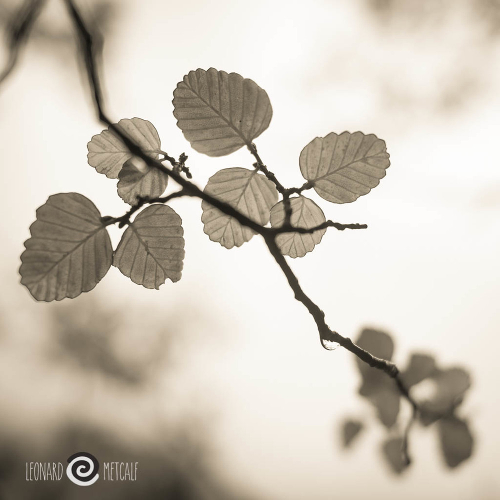 Fagus, Cradle Mountain, Tasmania - Captured on an amazing Len's School photography tour © Leonard Metcalf 2014