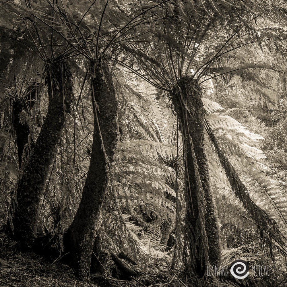 Man Ferns, Arthur River region © Leonard Metcalf 2014