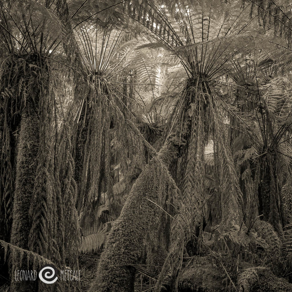 Man Ferns,dicksonia antartica, Milkshakes Hills Forest Reserve, Tarkine, Tasmania