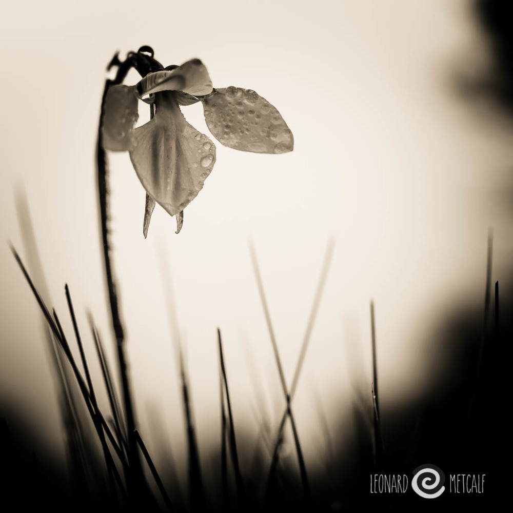 Highland Golden Moths Orchid ( Diuris monticola) Snowy Mountains. - Voitlander 25mm f0.95 Copyright © Leonard Metcalf 2014