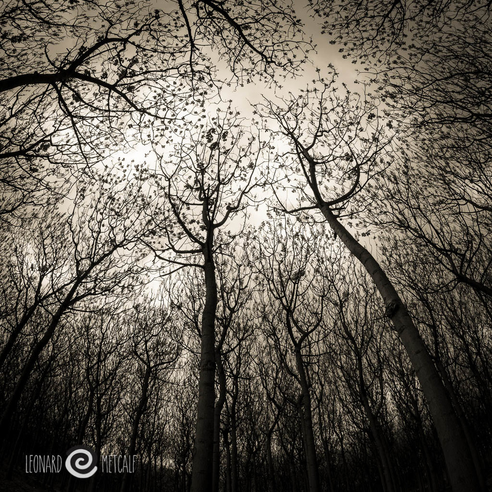 Paulownia plantation, Samyang 7.5 mm f 3.5 lens © Leonard Metcalf 2015