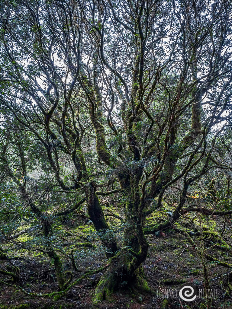 Enchanted forest walk, Cradle Mountain, Tasmania © Leonard Metcalf 2015