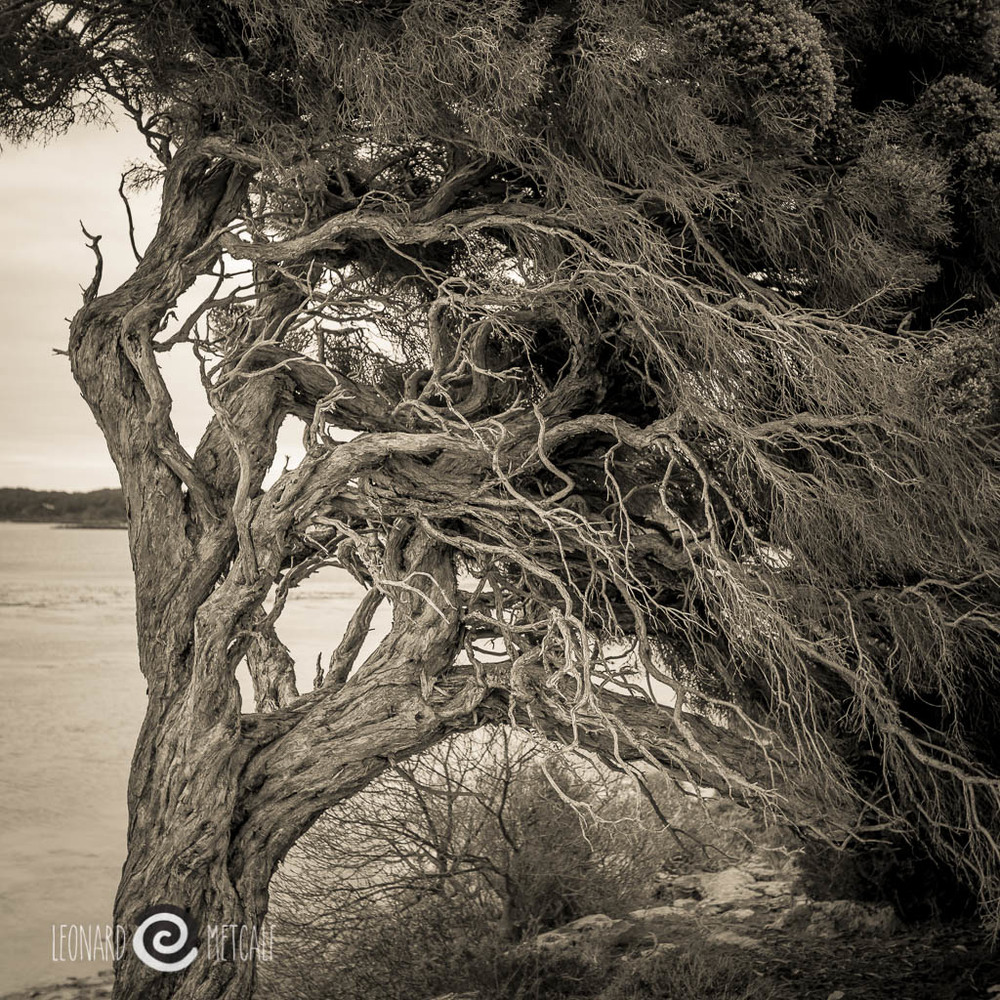 Tree at Hog Bay, Kangaroo Island, photography copyright © Len Metcalf