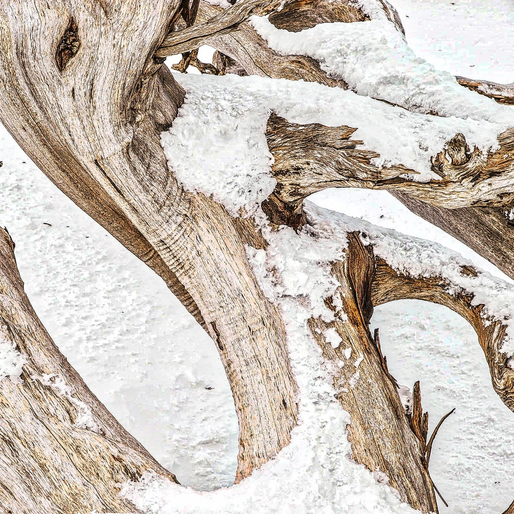 Sastrugi is windblown ice formations that grow beautifully on this snow gum in the Snowy Mountains. Copyright © Len Metcalf 2016