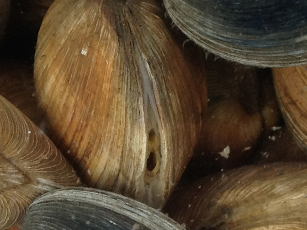 A happy clam, siphons out, filtering for its dinner.