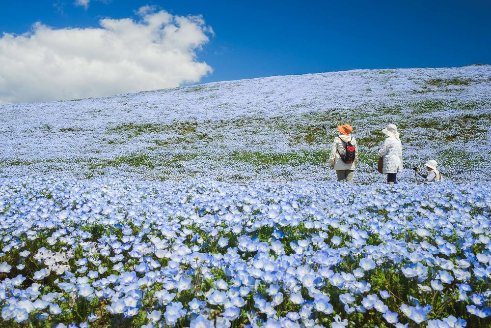 Sea of Nemophila