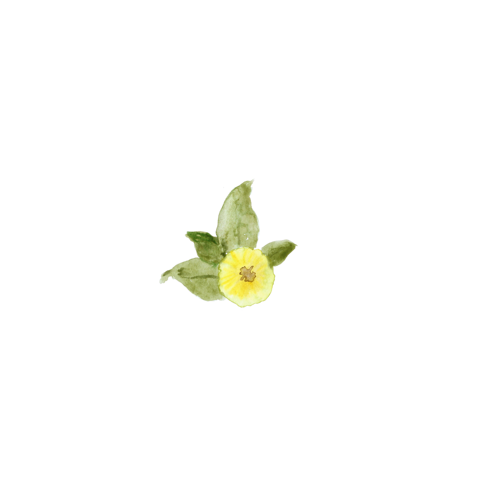 Yellow_Sprouting_Rose.jpg