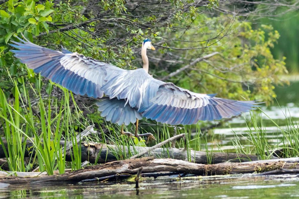 Great Blue Heron Landing on a Log