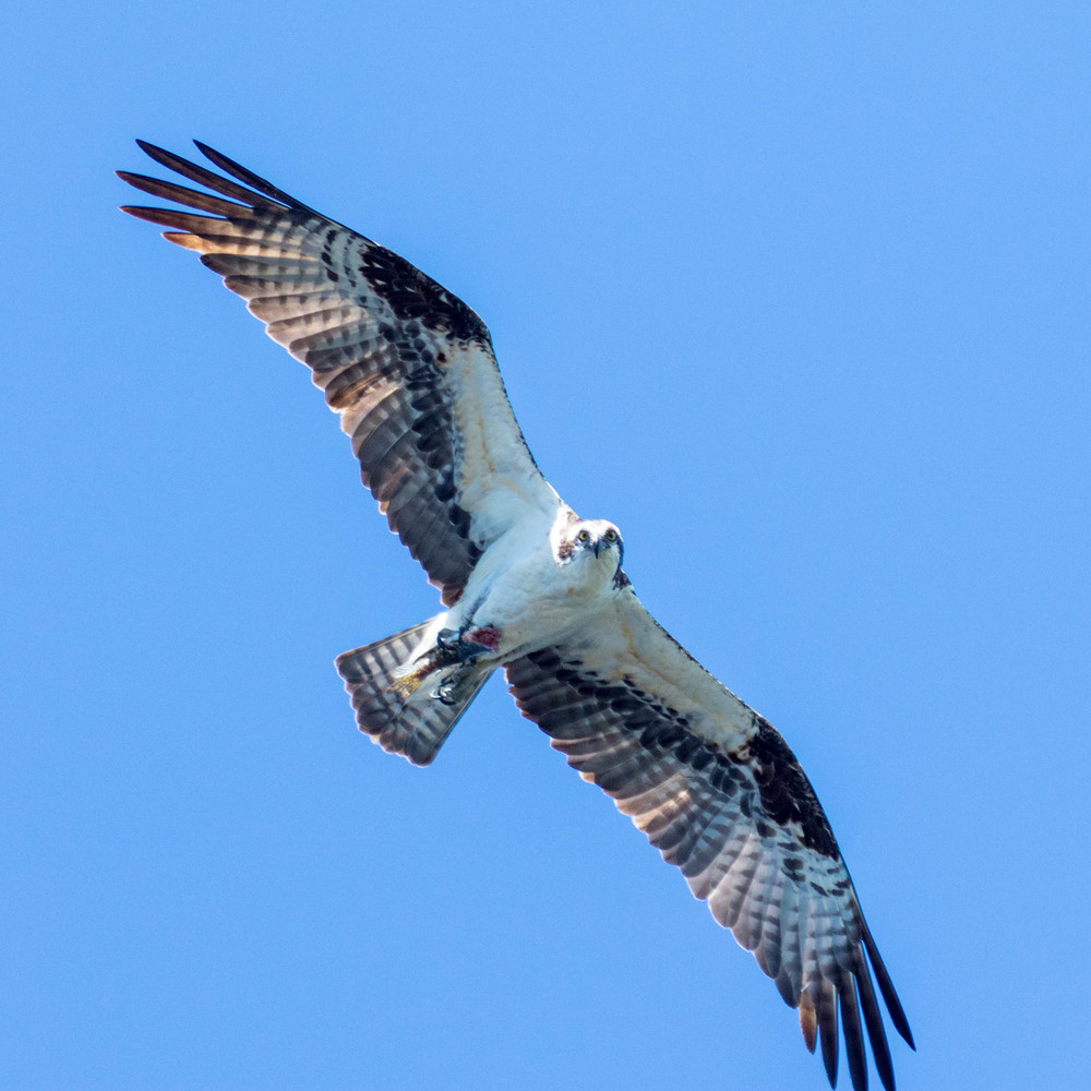 Osprey Soaring High Over the River