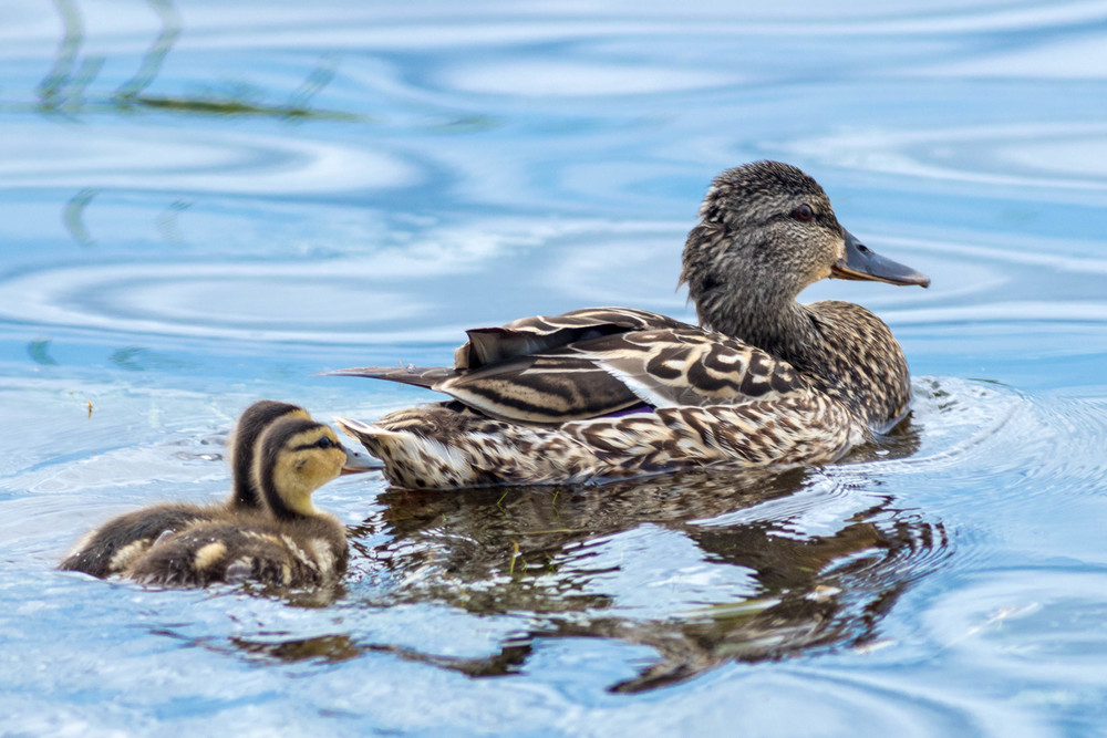 Mother Mallard & Duckling Swimming in River