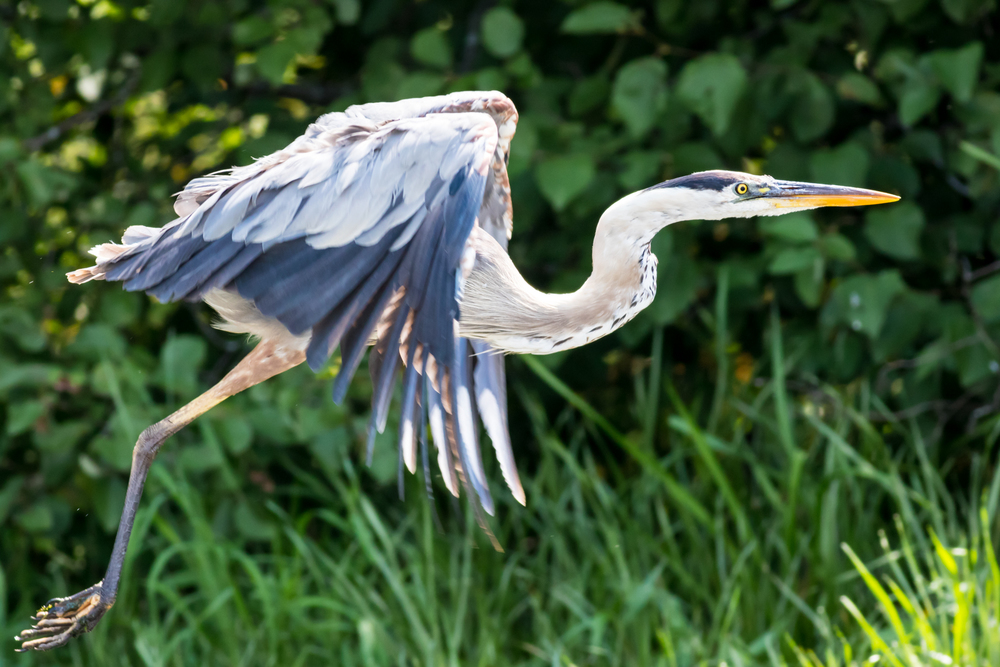 Great Blue Heron in Flight Over the River