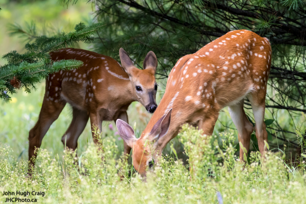 Deer Fawns Eating lunch in the Forest