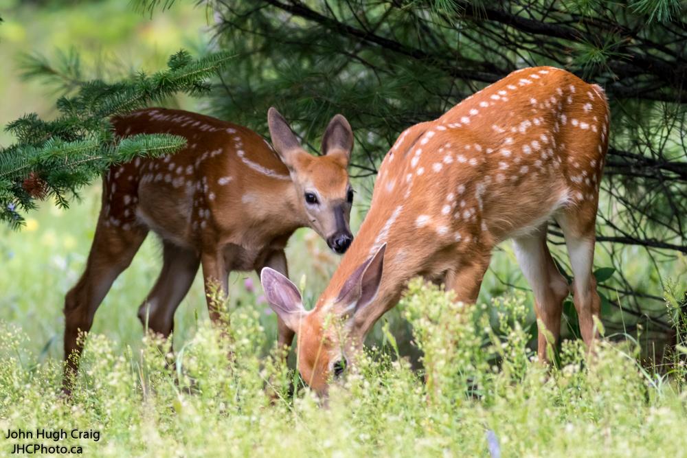 Deer Fawns in the Grass