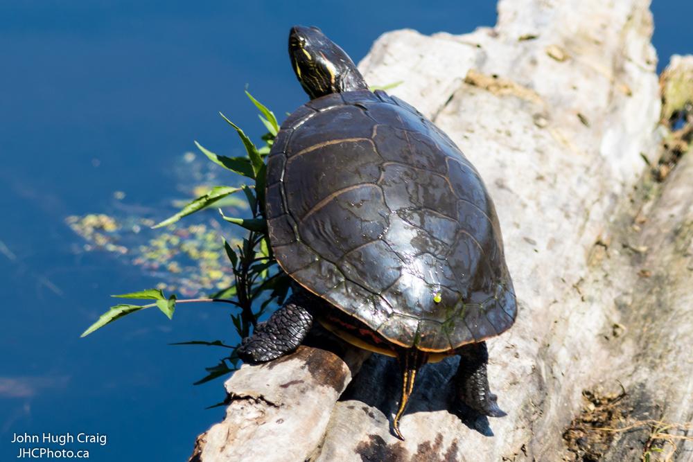 Turtle at Mud Lake