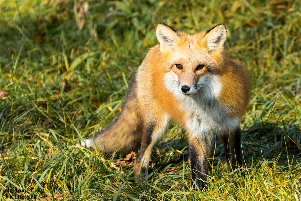 Red Fox in the Grass