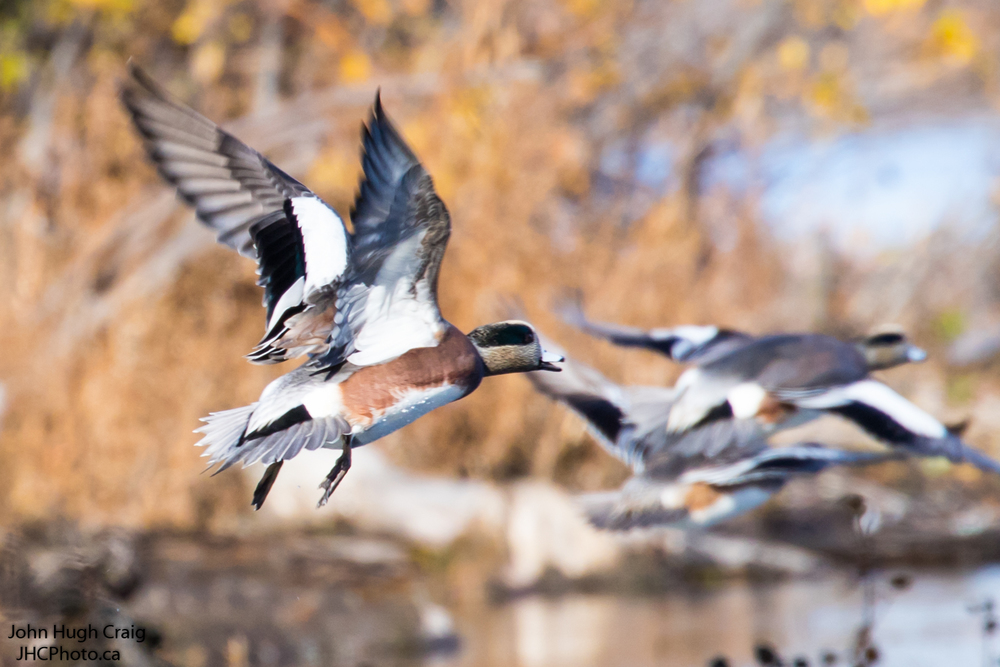 American Wigeon's Flying South