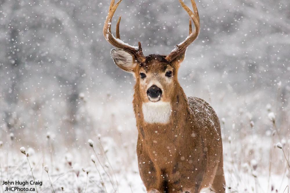 Buck 5
