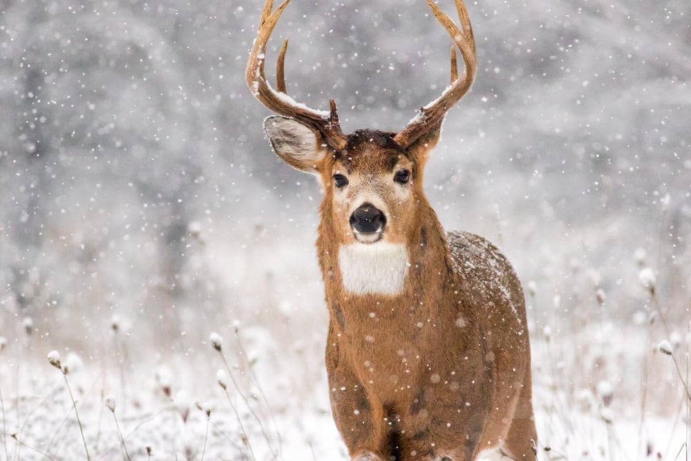 Buck in the Snow Storm!