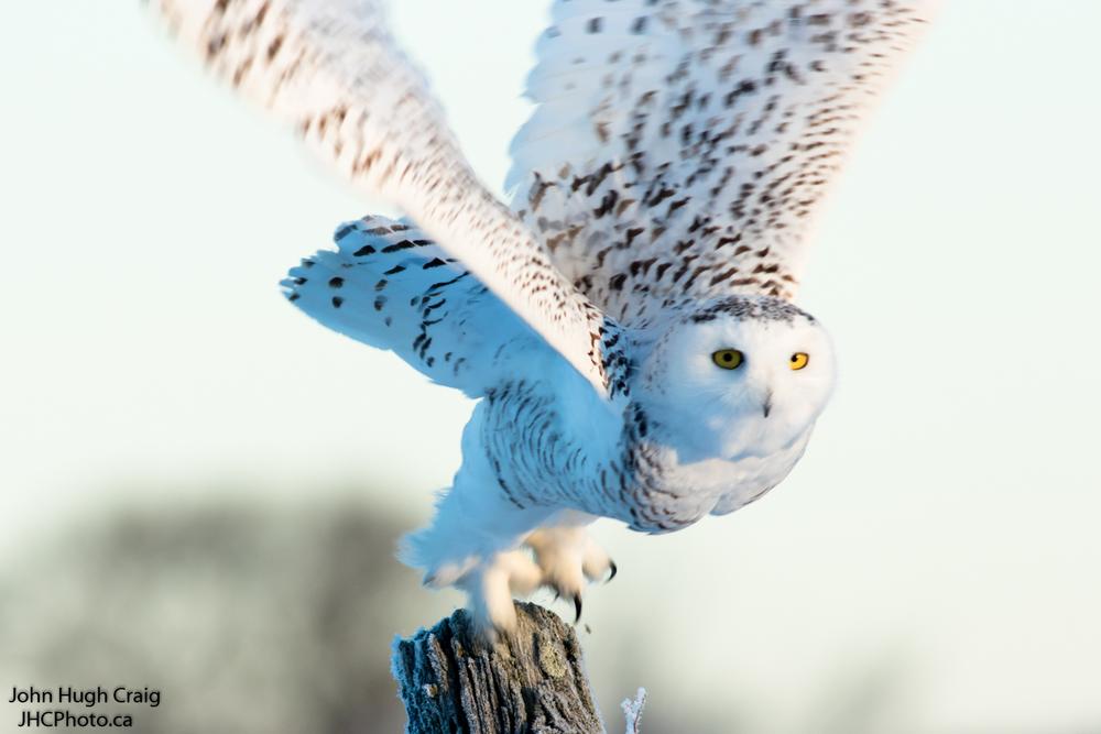 Snowy Owl taking Off