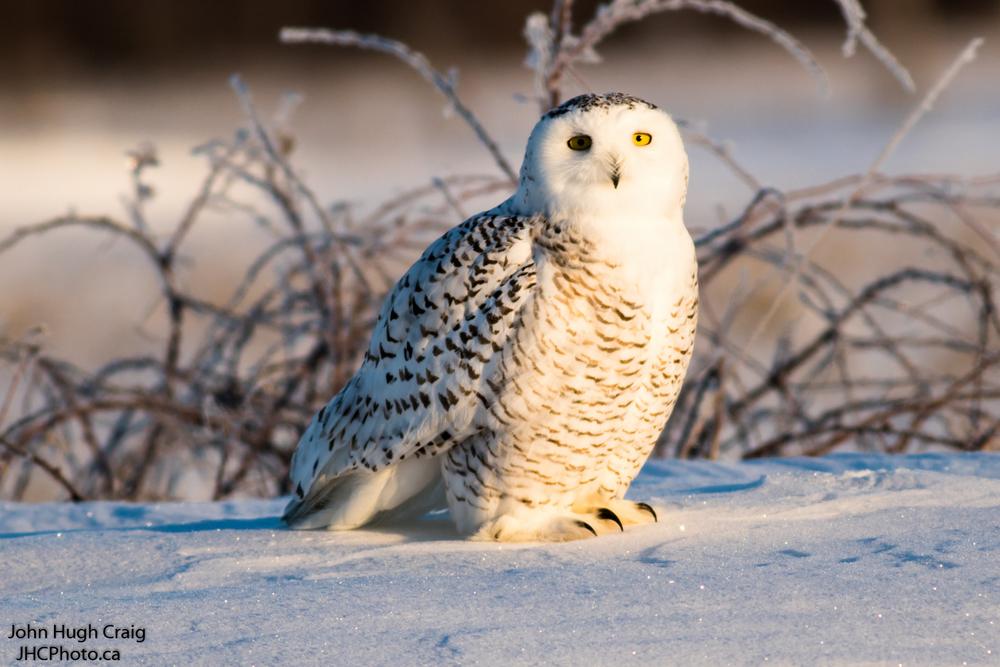 Snowy Owl on the Snow