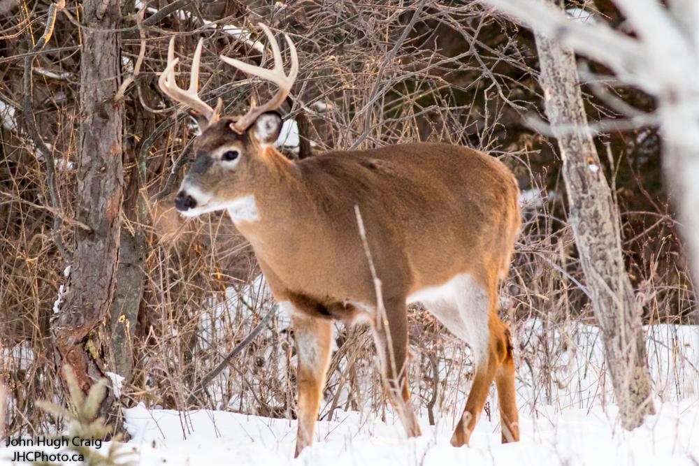 Buck 3