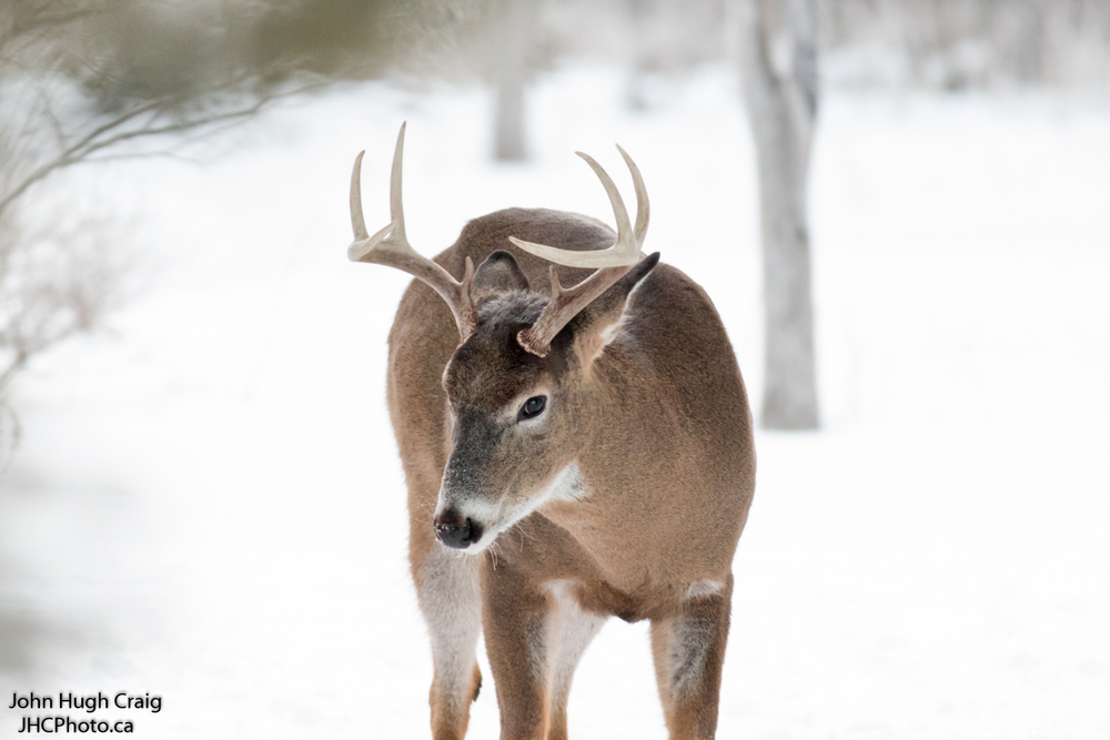 8 Point Buck Deer in the Winter Forest