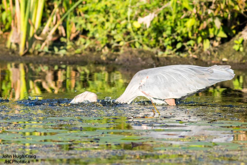 Heron diving for the fish