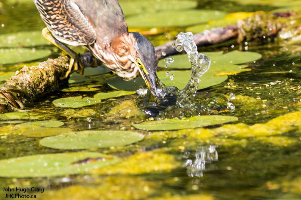 Green Heron Fishing 3