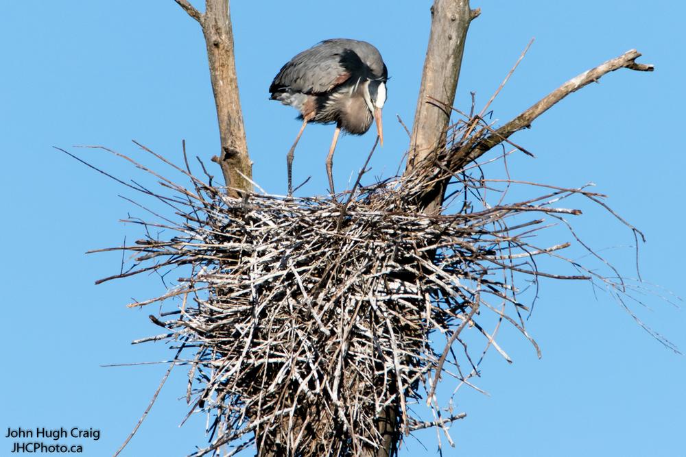 Heron Nesting 1